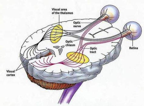 Illustration of the inside of a humanbrain.
