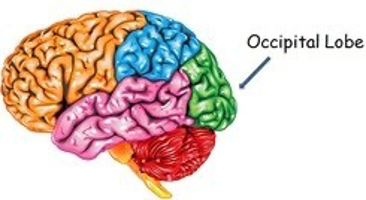 Illustration of the occipital lobe on the brain.