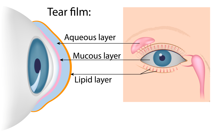 Tear film: aqueous layer, mucous layer, lipid layer